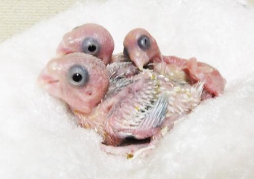 マメ雛誕生