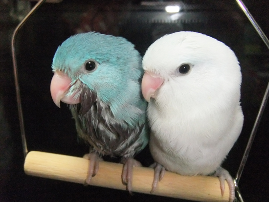 ブルーとアメホ