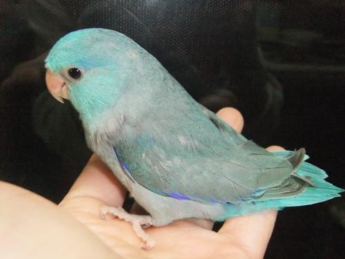 マメルリはブルー