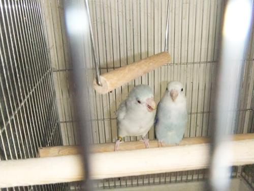マメルリハ親鳥
