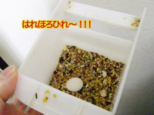 マメルリハ産卵