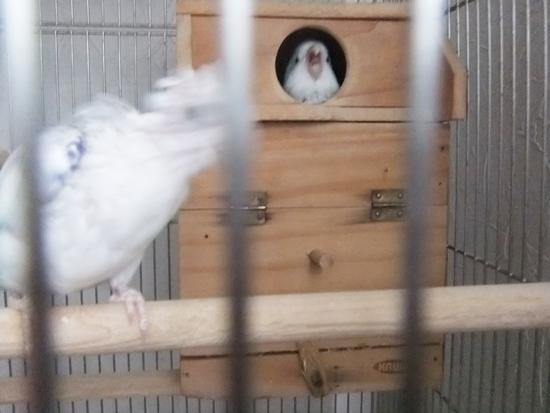 マメルリハ雛
