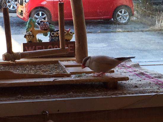 マメルリハ文鳥